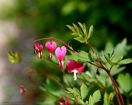 Sandra Huston - Bleeding Hearts in Spring