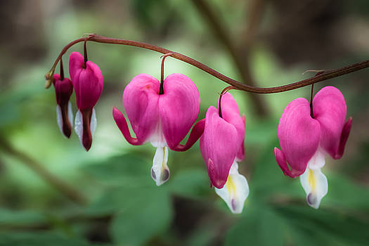 Bleeding Hearts by Lisa Plymell
