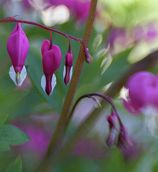 Bleeding Hearts by Sharon Wilkinson