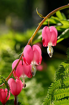 Steve Augustin - Bleeding Hearts with Fern