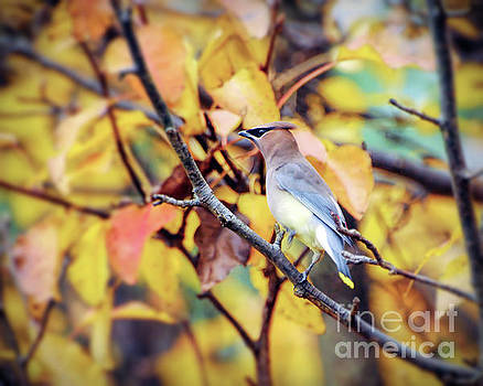 Blending In with Autumn - Cedar Waxwing by Kerri Farley