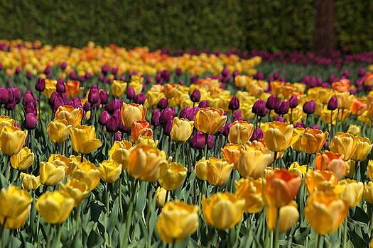 Rosanne Jordan - Blissful Spring Tulips