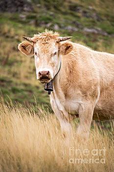Delphimages Photo Creations - Blond cow