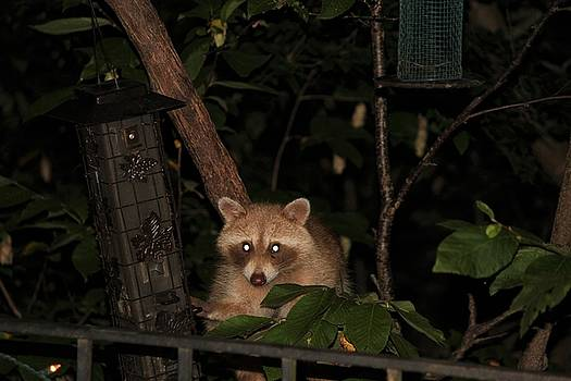 Blonde Raccoon by Suzanne McClain