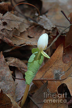Bloodroot Bud Shotting up by Robin Clifton