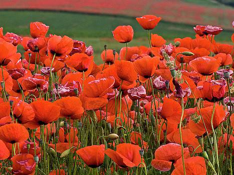 Heiko Koehrer-Wagner - Bloom Red Poppy Field