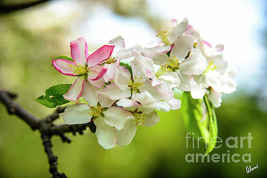 Blooming -Apples Blossoms  by Alana Ranney