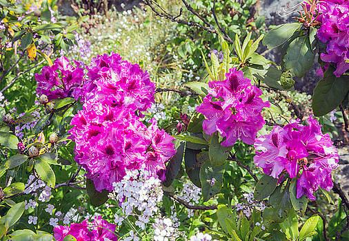 Allan Levin - Blooming Azalea