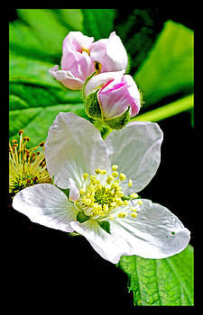 Blooming Blackberry Flower by Susanne Still