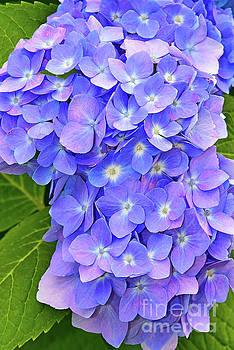 Regina Geoghan - Blooming Blue Hydrangea