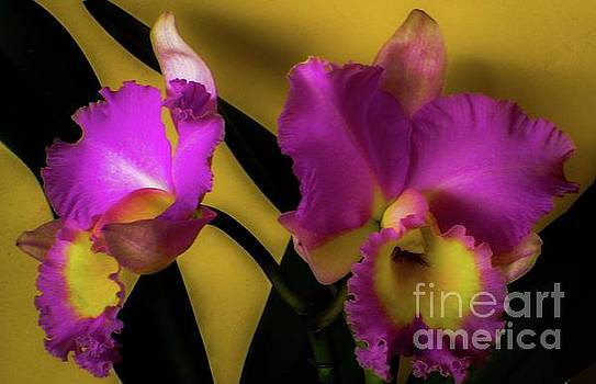 Blooming Cattleya Orchids by D Davila