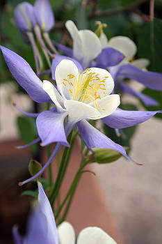 Blooming Columbine by Andrew Serff