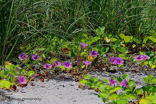 Barbara Bowen - Blooming Cross Vines along the beach