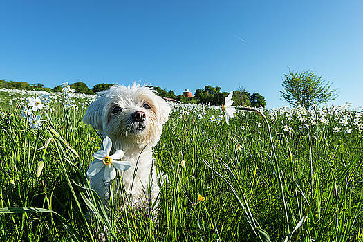 Blooming Daffodils In The Antola Park With Maltese I by Enrico Pelos