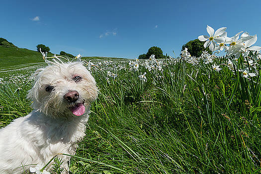 Blooming Daffodils In The Antola Park With Maltese Ii by Enrico Pelos