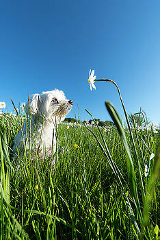 Blooming Daffodils In The Antola Park With Maltese Iii by Enrico Pelos