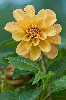 Blooming Dahlia by Michael Wall