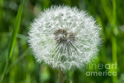 Blooming dandelion by Deyan Georgiev