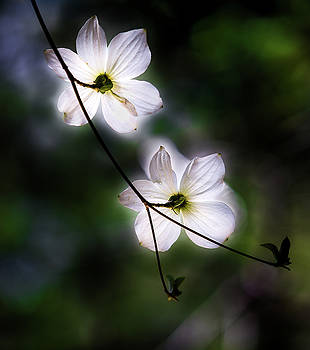 Larry Marshall - Blooming Dogwoods in Yosemite 2