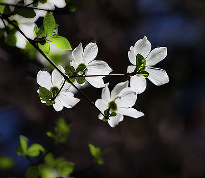 Blooming Dogwoods in Yosemite 4 by Larry Marshall