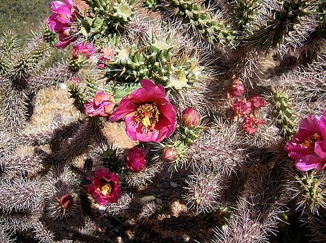 Blooming Hedgehog Cactus by Maria Mills