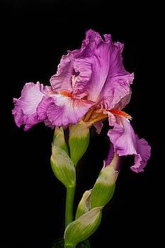 Rick Strobaugh - Blooming Iris