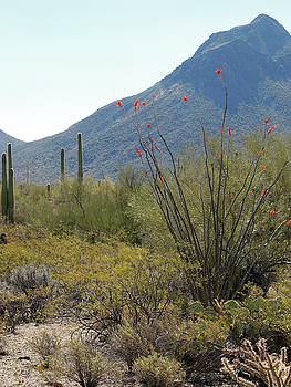Blooming Ocotillo by Gordon Beck