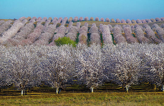 Blooming Orchards by Janet Kopper