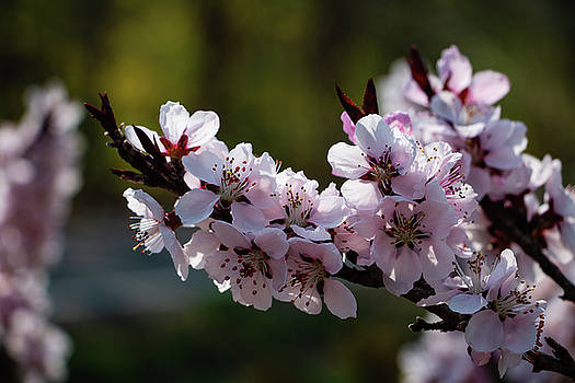 Blooming Peach Tree by Jeff Severson