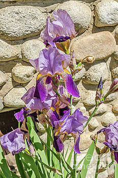 Blooming Purple Iris by Sue Smith