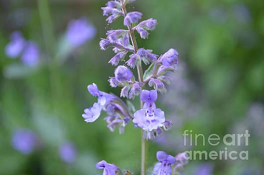 Blooming Purple Lavender Flowers in a Garden by DejaVu Designs