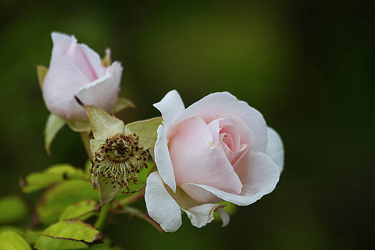 Blooming rose and bud by Ruth Jolly