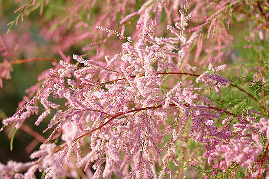 Blooming Tamarisk by Brady Lane