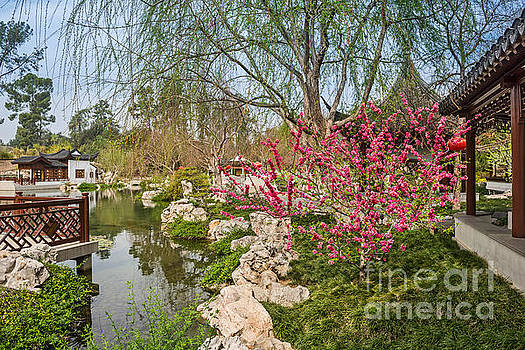 Jamie Pham - Blooming tree in the Chinese Garden at the Huntington.