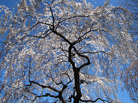 Blooming Tree by Peter Aiello