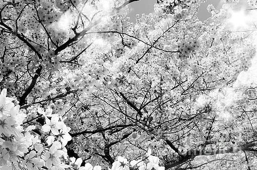 Blossom Black and White by Stefano Senise