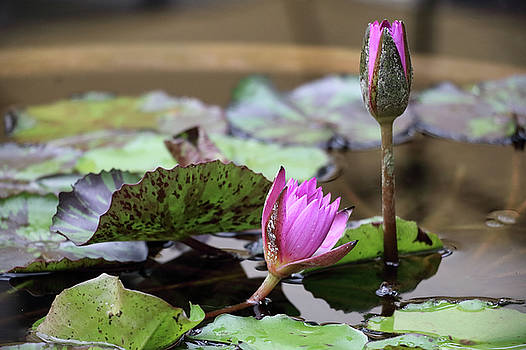 Blossoming Lotus by Seil Frary