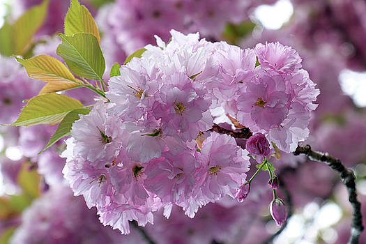 Blossoms by Ronda Ryan