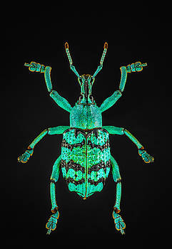 Blue and Black Snout Beetle by Gary Shepard