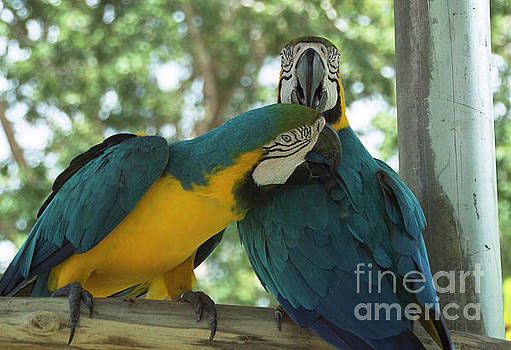 Blue and Gold Love Birds by Judy Hall-Folde