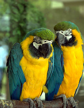 Kathi Shotwell - Blue and Gold Macaws
