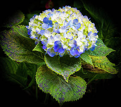 Venetia Featherstone-Witty - Asian Blue And White Hydrangea