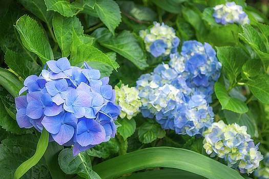 Blue and Yellow Hortensia Flowers by Daniela Constantinescu
