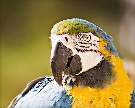 Blue and Yellow Macaw_ A1 by Walter Herrit