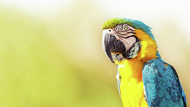 Susan Schmitz - Blue and Yellow Macaw With Copy Space