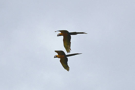 Harvey Barrison - Blue and Yellow Macaws in Flight