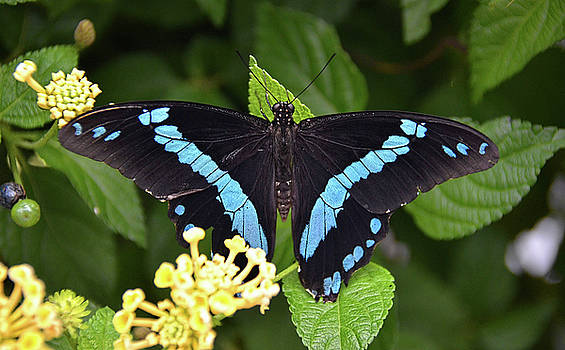 Blue Banded Swallowtail by Ronda Ryan