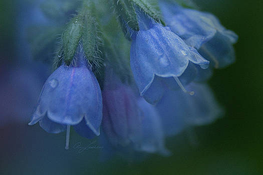 Blue Bells by Ann Lauwers