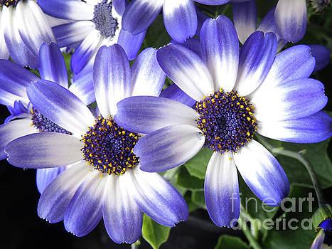 Blue Bi-Color Pericallis Senetti by Dorothy Lee