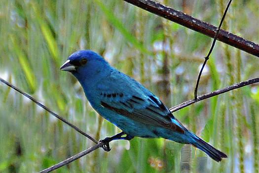 Blue Bird by Bill Perry
